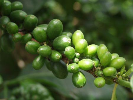 Вся правда о похудении с зеленым кофе!